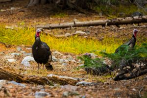 wild turkeys in Great Basin National Park